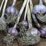 Growing garlic in your garden
